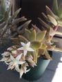 この胡蝶蘭の名前は?