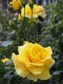 アンネフランクと黄色いうさぎ