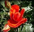 挿し芽の薔薇、開花です。