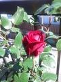 今日のバラさん その2