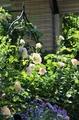 今日の庭 ロココ