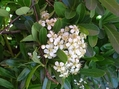 雨後の白い花たち