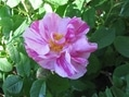 今日の薔薇(センチメンタル・レッドインテューション・ノヴァーリス)