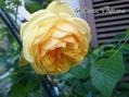 ローブリッター、咲きました♪