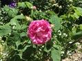 疑惑のバラと変化するアジサイ