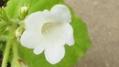 白花のイワギリソウです。