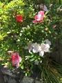 咲き分けツツジ咲きだしました