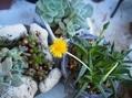 サギナの小さな小さな花