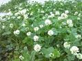 シロツメクサ花畑