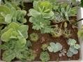 どんどん増える  種から、挿し芽から主義