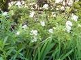 卯の花咲いて夏は来ぬ