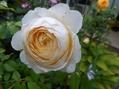今日の薔薇②(^^♪