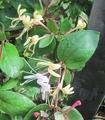 ハニーサックルが咲いてきた