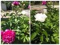 お家の庭で我が家の花を楽しむ