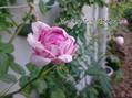 バリエガータディボローニャ、咲きました♪
