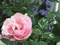feliciaが咲きました