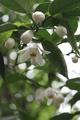 ユキノシタ咲いてます