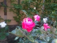 メイワンダー、咲きました♪
