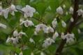 エゴノキに、かわいい花が、咲きました。