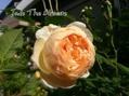 ジュードジオブスキュア、咲きました♪