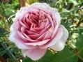 今日の薔薇(^^♪②