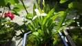 姫睡蓮と朱鷺草