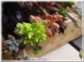 虹の玉開花
