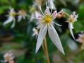 オーニソガラム ユキノシタの花
