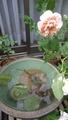 土曜の夕方 バラと睡蓮のある庭