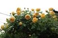 薔薇の今日 3