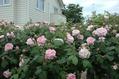 薔薇の今日 5
