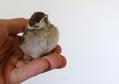 スズメの雛。