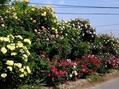 今日のバラの庭①