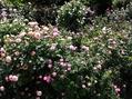 今日のバラの庭④