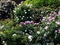 今日のバラの庭⑤