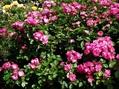 今日のバラの庭⑦