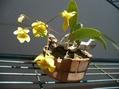 Den.aggregatum  2種