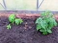 グリーンハウスに野菜の苗