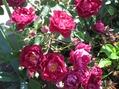 今日の薔薇2つとシクラメン
