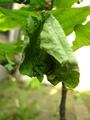 オトシブミの木