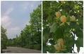 並木…ユリノキ