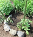 中玉の【とまと】を植えました。