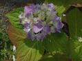 紫陽花も色づいてきましたo(^▽^)o