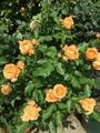 今日の薔薇   4