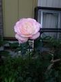 プリンセス・ドゥ・モナコが咲きました