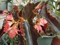 木立ち性ベゴニア3種。