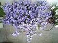 やっと咲きだしました。