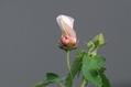 タカサゴフヨウの花の変化