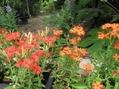センノウと食虫植物