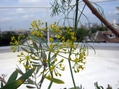 セリ科の花